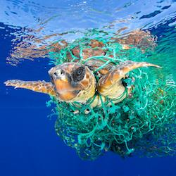Tortuga Boba. Islas Canarias